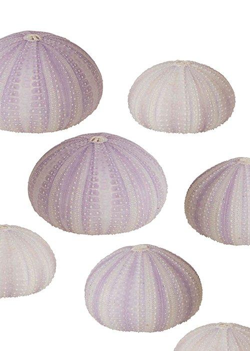 Sea shell lupine small sæt á 4 stk