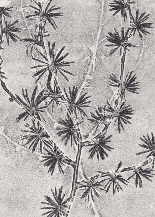 Botanisk tryk Lærk A5 - Pernille Focarelli