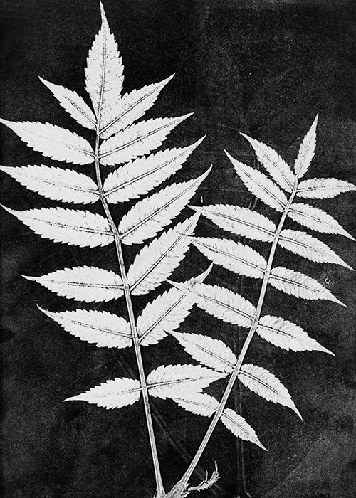 Botanisk tryk Sumac white - Pernille Focarelli